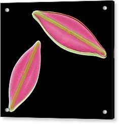 Diatoms Acrylic Print by Steve Gschmeissner