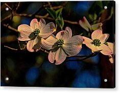 Acrylic Print featuring the photograph 3 Dogwoods On A Branch by John Harding