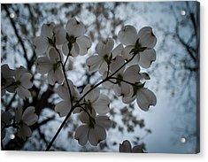 Acrylic Print featuring the photograph Dogwoods by Wayne Meyer