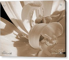 Double Late Tulip Named Angelique Acrylic Print by J McCombie