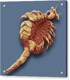 Fairy Shrimp Acrylic Print