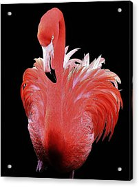 Flamingo Acrylic Print by Paulette Thomas