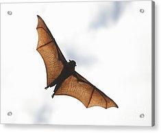 Flying Bat Acrylic Print