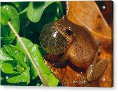 Frog Acrylic Print by David Davis
