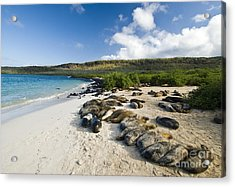 Galapagos Sea Lions Acrylic Print by William H. Mullins