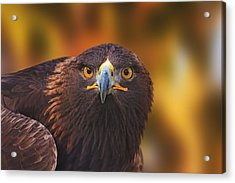 Golden Eagle  Acrylic Print by Brian Cross