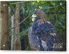 Golden Eagle Acrylic Print by Sean Griffin