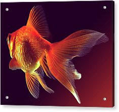 Goldfish Acrylic Print by Mark Mawson