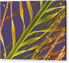 Goose Down Feather Barb And Barbule Tips Acrylic Print