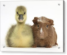 Gosling And Baby Guinea Pig Acrylic Print by Mark Taylor
