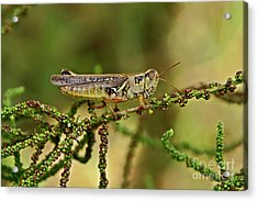 Acrylic Print featuring the photograph Grasshopper by Olga Hamilton