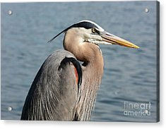Great Blue Heron Profile Acrylic Print by Carol Groenen