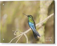 Great Sapphirewing Hummingbird Acrylic Print