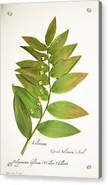 Great Solomon's-seal Acrylic Print