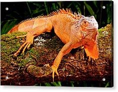 Green Iguana, Iguana Iguana, Native Acrylic Print by David Northcott
