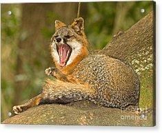 Grey Fox Acrylic Print by Millard H. Sharp