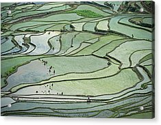 Hani Rice Terraces Near Yuanyang Acrylic Print by Tony Camacho