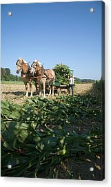 Harvest On An Amish Farm Acrylic Print