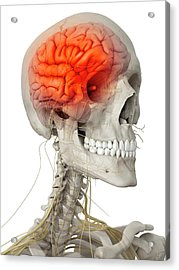 Human Brain And Nerves Acrylic Print