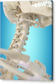 Human Cervical Spine Acrylic Print by Sciepro