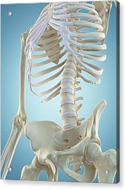 Human Skeletal Structure Acrylic Print by Sciepro