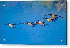 Incoming Geese Acrylic Print