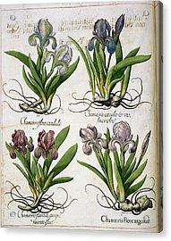 Iris Acrylic Print by British Library