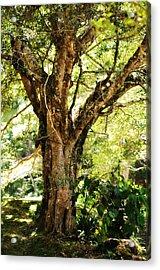 Kingdom Of The Trees. Peradeniya Botanical Garden. Sri Lanka Acrylic Print