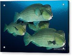 Large School Of Bumphead Parrotfish Acrylic Print by Steve Jones