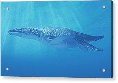 Liopleurodon Marine Reptile Acrylic Print