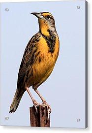 Meadowlark Acrylic Print