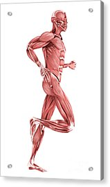 Medical Illustration Of Male Muscles Acrylic Print by Stocktrek Images