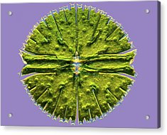 Micrasterias Desmid, Light Micrograph Acrylic Print by Science Photo Library