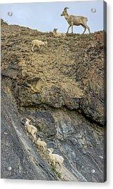 Mountain Goats Along Kongakut River Acrylic Print