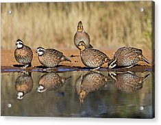 Northern Bobwhite (colinus Virginianus Acrylic Print by Larry Ditto