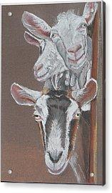 3 Nosey Goats Acrylic Print