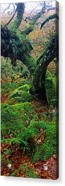 Oak Trees In A Forest, Wistmans Wood Acrylic Print
