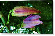Orchid-dendrobium Buds Acrylic Print