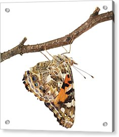 Painted Lady Butterfly Acrylic Print by Science Photo Library