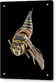Parasitic Bee Acrylic Print by Us Geological Survey