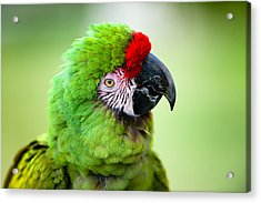 Parrot Acrylic Print by Sebastian Musial