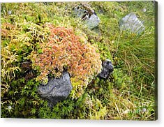 Peat Moss Sphagnum Sp Acrylic Print by Duncan Shaw