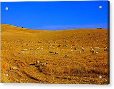 Sheep Grazing In The Countryside Tarquinian Acrylic Print