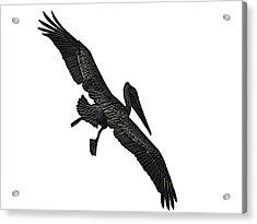 Pelican Selection Acrylic Print