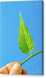 Person Holding Green Leaf Acrylic Print