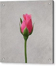 Pink Rosebud Acrylic Print by Sandy Keeton