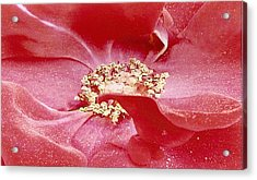 Pollen Covered Altissimo Rose Acrylic Print