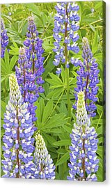 Purple Lupine Flowers Acrylic Print