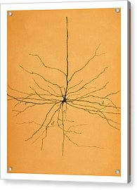 Pyramidal Cell In Cerebral Cortex, Cajal Acrylic Print