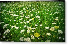 Queen Annes Lace Acrylic Print by Carol Toepke